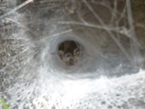 Funnel Web spider, My Son. It was only after taking this photo that I thought they might be poisonous!