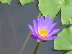 Water Lily, Marble Mountain