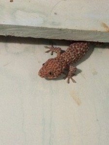 Biggest gecko so far, in the Democrat.