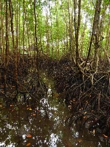 Mangroves - end of the dry season.