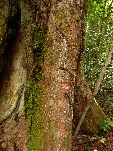 Rubber tree.