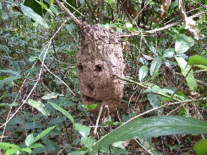 Ants nest- they get angry when you poke holes in it like our guide did.