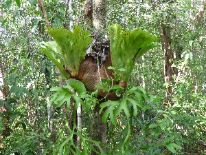 Lung plant. I think it's some sort of tree parasite.
