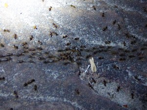 The ants moving the mites