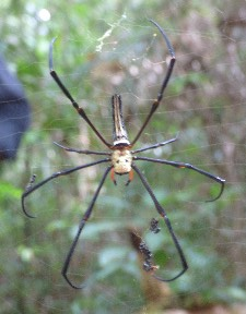 The massive spider from the front- a skull on his back!!