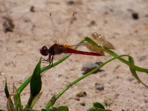 Dragonfly and nymphs? I didn't even see them when I took the photo