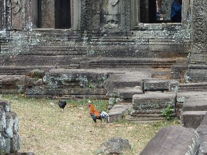 Amorous chickens at Banteay Kdei.