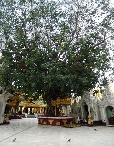 Bhodi tree