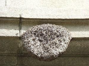 Wild bee nest