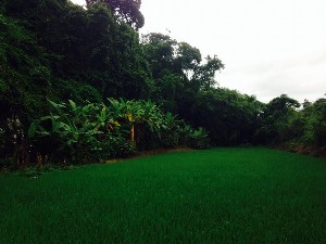 a small path with two paddy fields