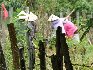 Ladies preparing the mulberry bushes. The sericulture farm is run by a women's collective.