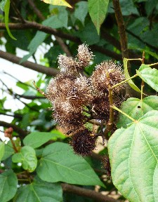 This plant had seed pods for orange dye..