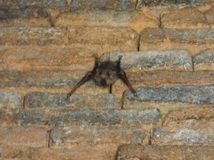 Finally a decent bat picture, this little guy was hidden in one of the small temples.