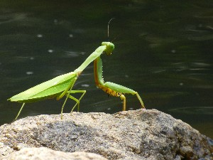 ..chilling as only a mantis can.