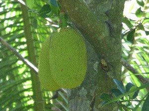 The garden was surrounded by fruit trees- some jackfruit...
