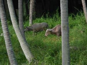 buffalo and coco