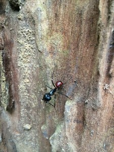 These ants are insane- the females (which are smaller and have smaller teeth) are used to flavour tea (as in they sqeeze them slightly to get them to produce their chemical defence, put that in their tea and let the ant go). The males used to be used to make holes in the skin to allow a wound to be sewn up. Ow.