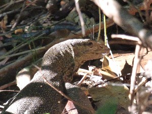 So many lizards here- this was quite a small one.