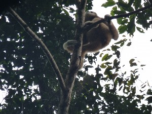 A white handed gibbon.
