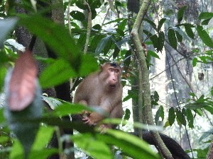I think this is a Pigtail macaque, he was quite startles when we saw each other but stopped making warning barks once it was clear we were just looking at him.