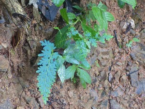 Blue medicinal plant, there were also green and brown versions.