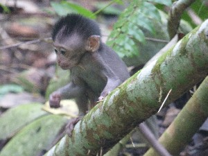 and baby macaques