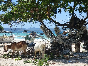 Hanging out with some goats at Selong Beach