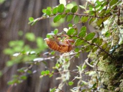 """A cicada casing. Loads """"hatched"""" here."""