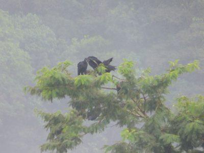 more black vultures