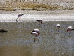 Andean flamingo. I had really wanted to see wild flamingos so this ticked a box.