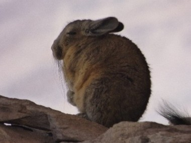 Viscacha! In meditative mode.